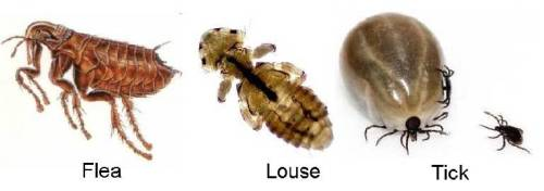 Worms From Fleas That Dogs Get