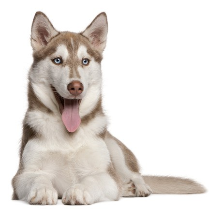 how to take care of a husky dog