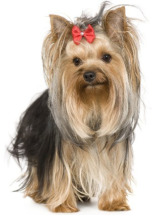 How To Do Top Knot For Yorkies Dog Grooming Tutorial