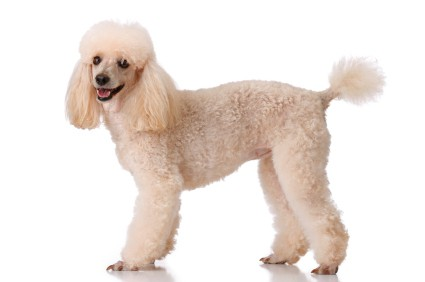 Grooming tips on different body parts dog grooming tutorial poodle grooming tips on different body parts winobraniefo Image collections
