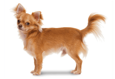 How To Brush A Chihuahua Dog Grooming Tutorial
