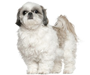 Different Body Trims For Shih Tzu Dog Grooming Tutorial