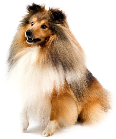 how often to bathe a sheltie dog grooming tutorial