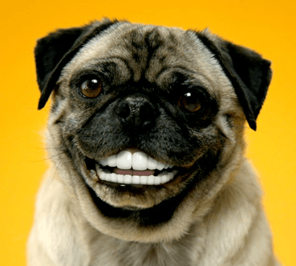 Dog Showing Teeth When Happy