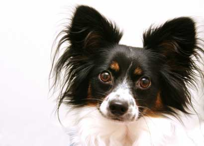 Cleaning-a-papillon's-ears-and-eyes