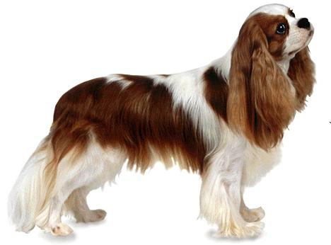 grooming-the-coat-of-a-cavalier