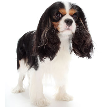 grooming-your-cavalier-for-a-show