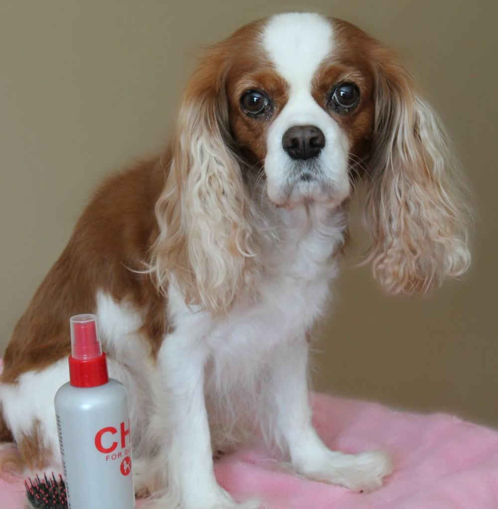 How To Bathe Your Cavalier Dog Grooming Tutorial