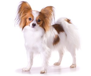 How To Brush A Papillon Coat Dog Grooming Tutorial
