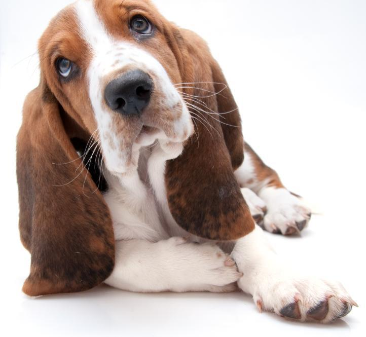 how-to-brush-your-basset-hound-teeth