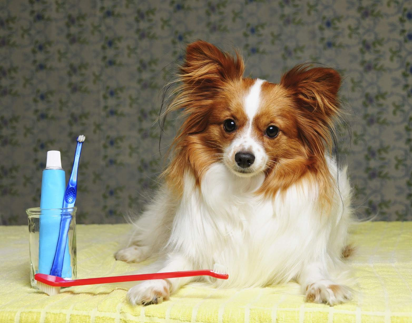 How to clean your papillon 39 s teeth dog grooming tutorial for Tutorial papillon