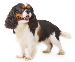 trimming-the nails-of-a-cavalier-king-charles