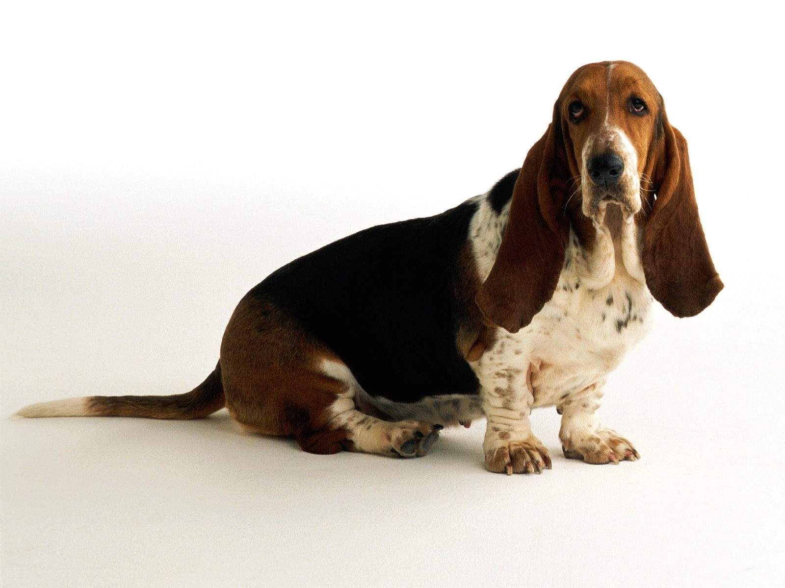 anal-gland-care-for-basset-hound