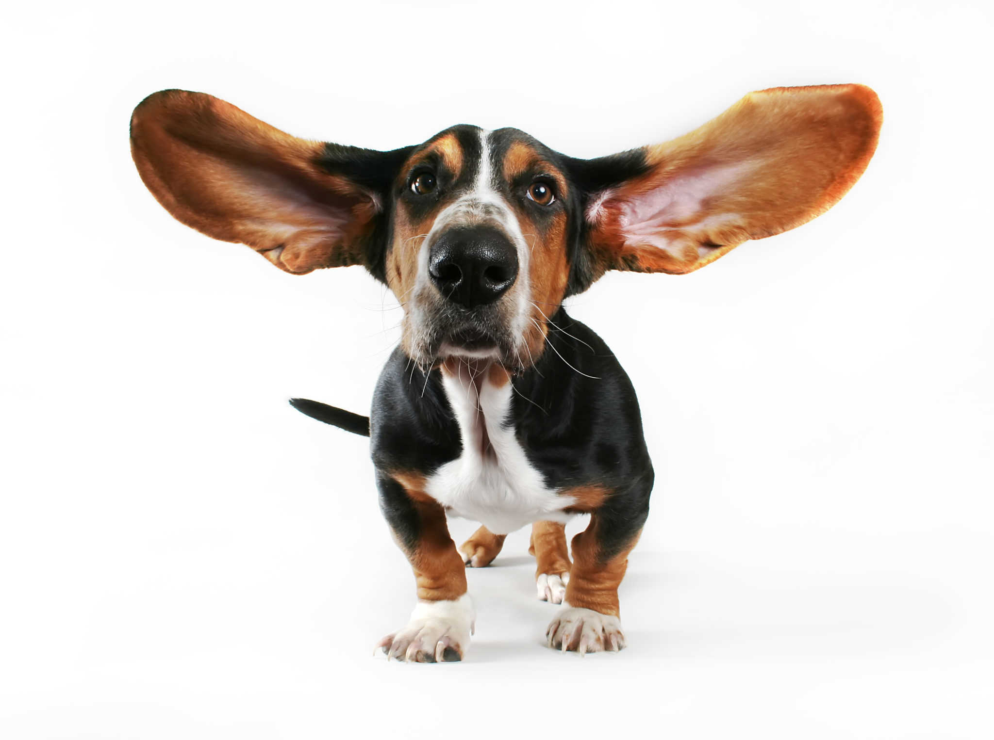 Cleaning-the-ears-of-a-basset-hound