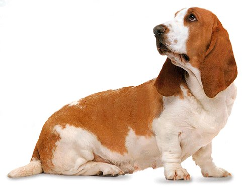 Apologise, but, bassett hound anal glands are not