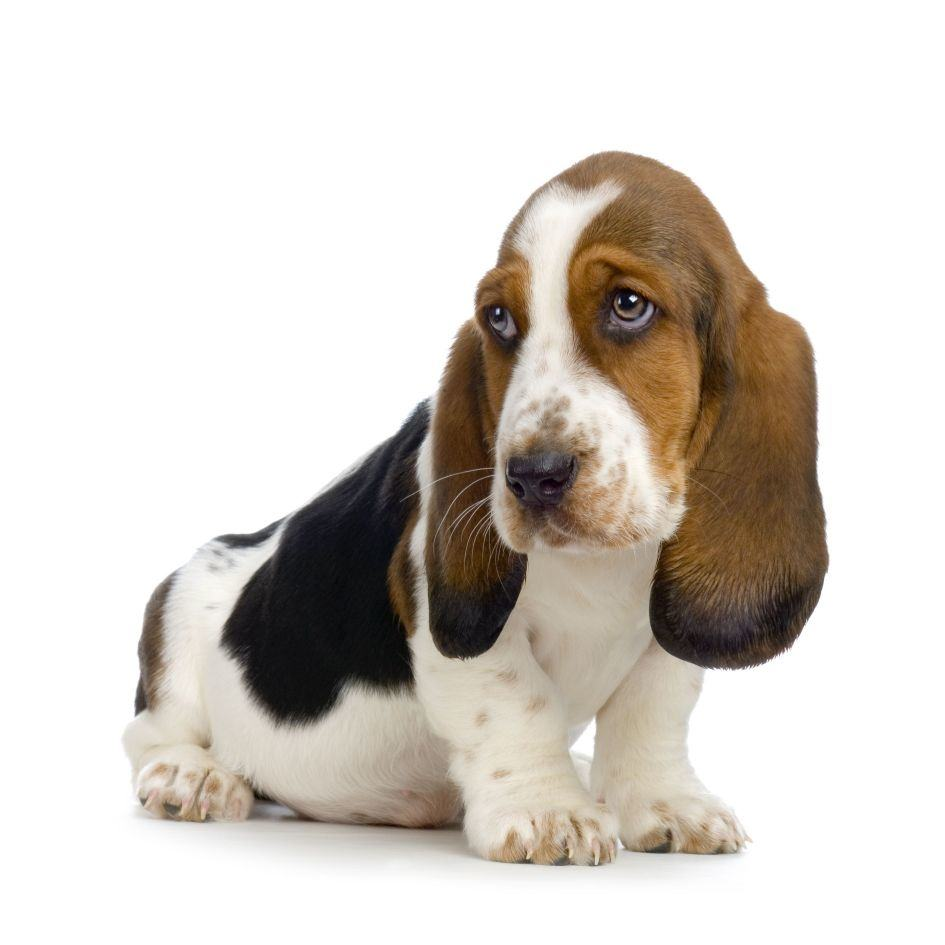 how-to-brush-the-coat-of-a-basset-hound
