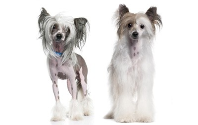 grooming-the-coat-of-your-chinese-crested