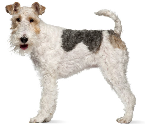 How to Groom the Coat Of a Fox Terrier | Dog Grooming Tutorial