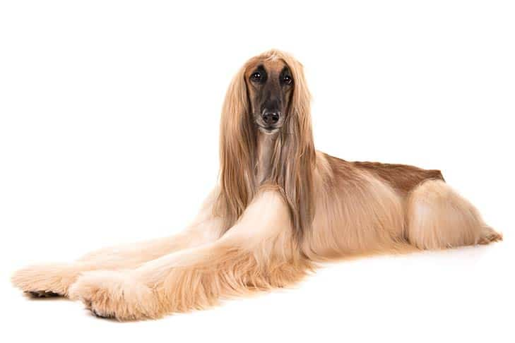 How-to-Groom-the-Coat-of-Your-Afghan-Hound