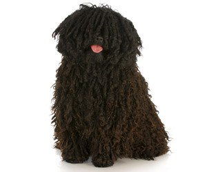 grooming-the-coat-of-your-hungarian-puli