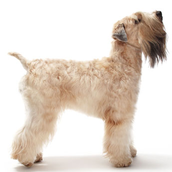 Grooming-a-Soft-Coated-Wheaten-Terrier