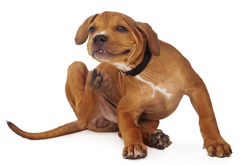 coat-and-skin-problems-in-dogs