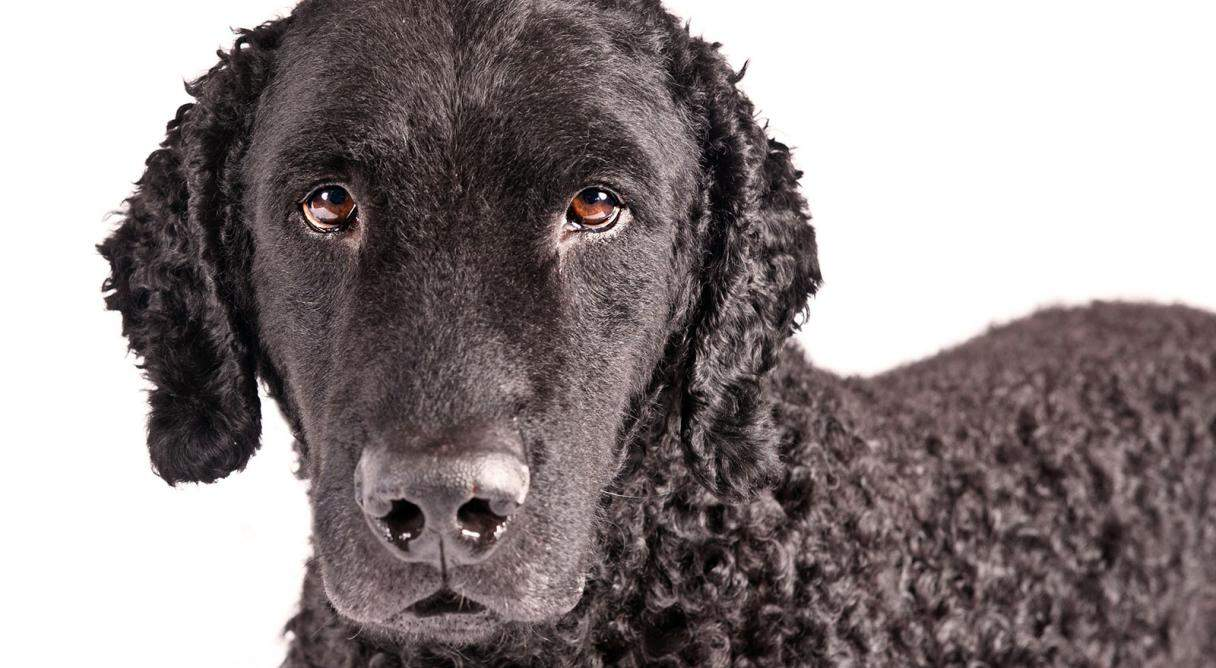 grooming-a-curly-coated-retriever