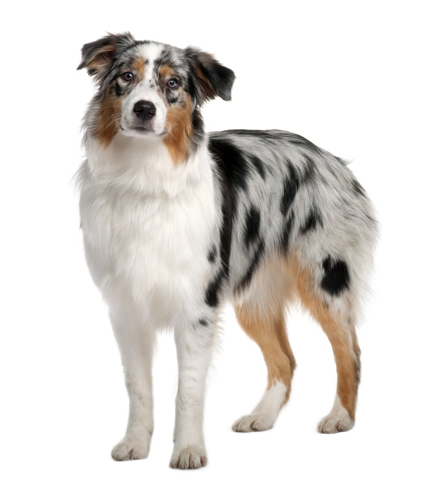 how to groom your australian shepherd u0026 39 s coat
