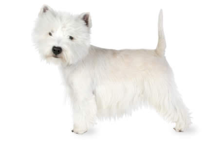 how-to-groom-a-west-highland-white-terrier