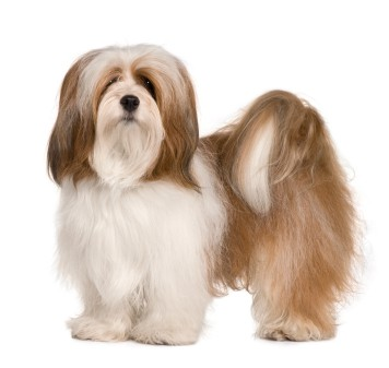 grooming the coat of lhasa apso at home