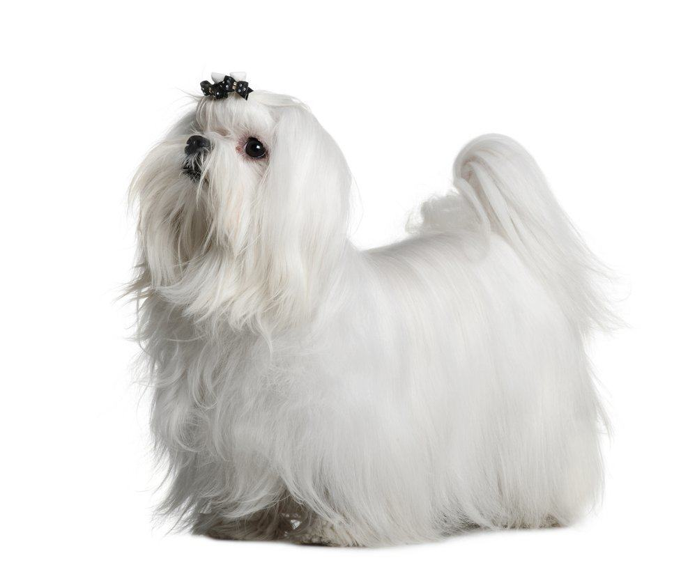 how to groom the coat of a maltese at home