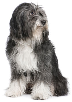 Grooming Details For A Tibetan Terrier