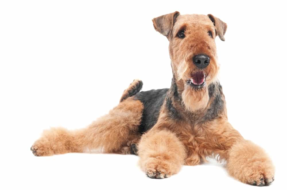 How To Groom An Airedale Terrier At Home Dog Grooming Tutorial