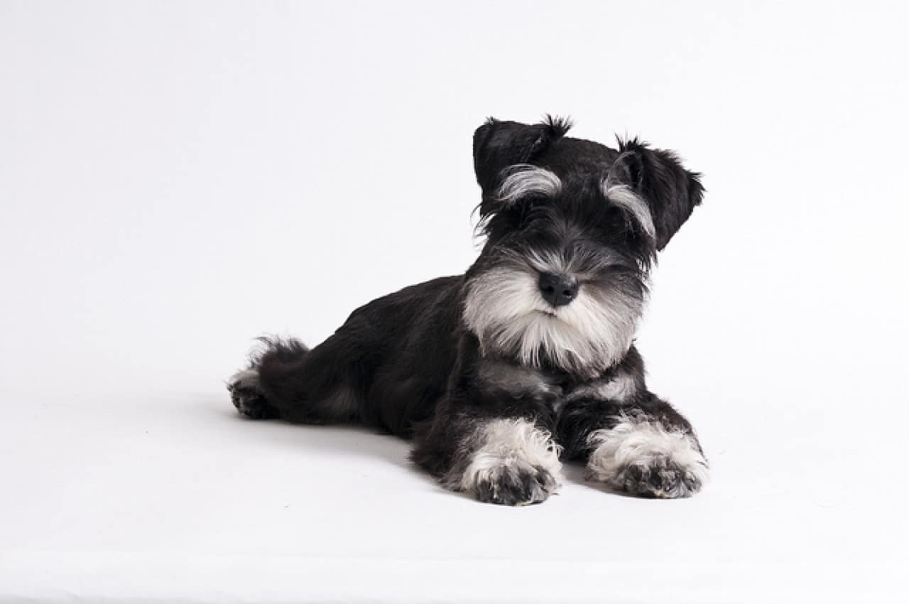 How To Clip Your Miniature Schnauzer S Nails Dog Grooming Tutorial