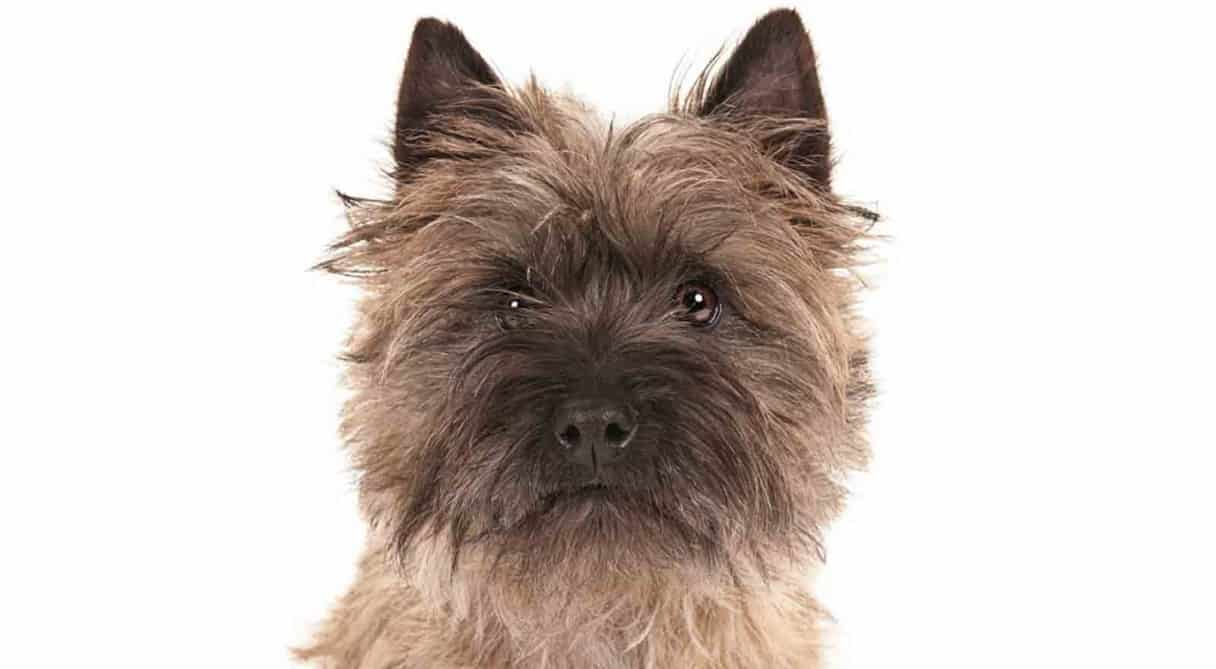 cairn terrier grooming tips | dog grooming tutorial