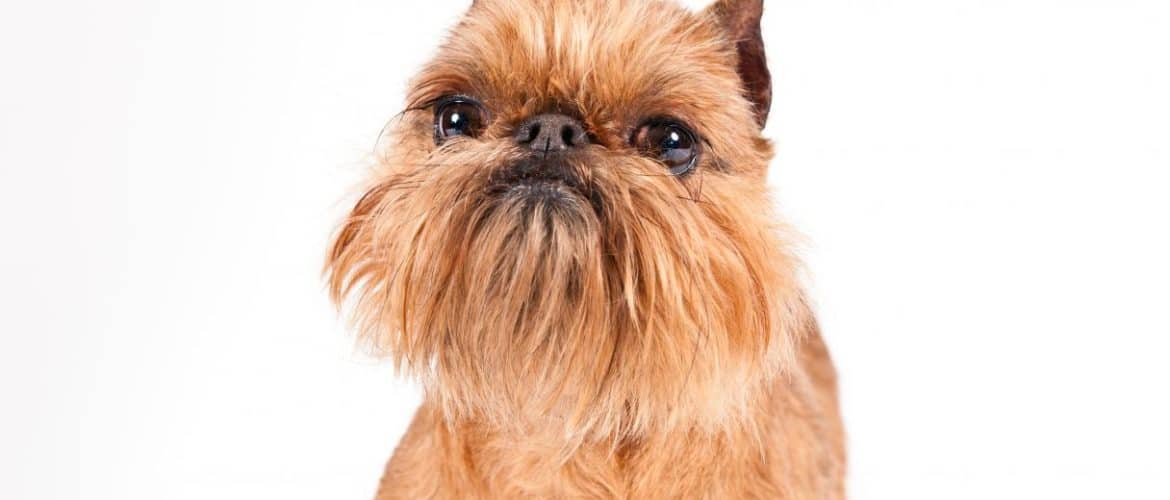 How To Groom A Brussels Griffon Dog Grooming Tutorial