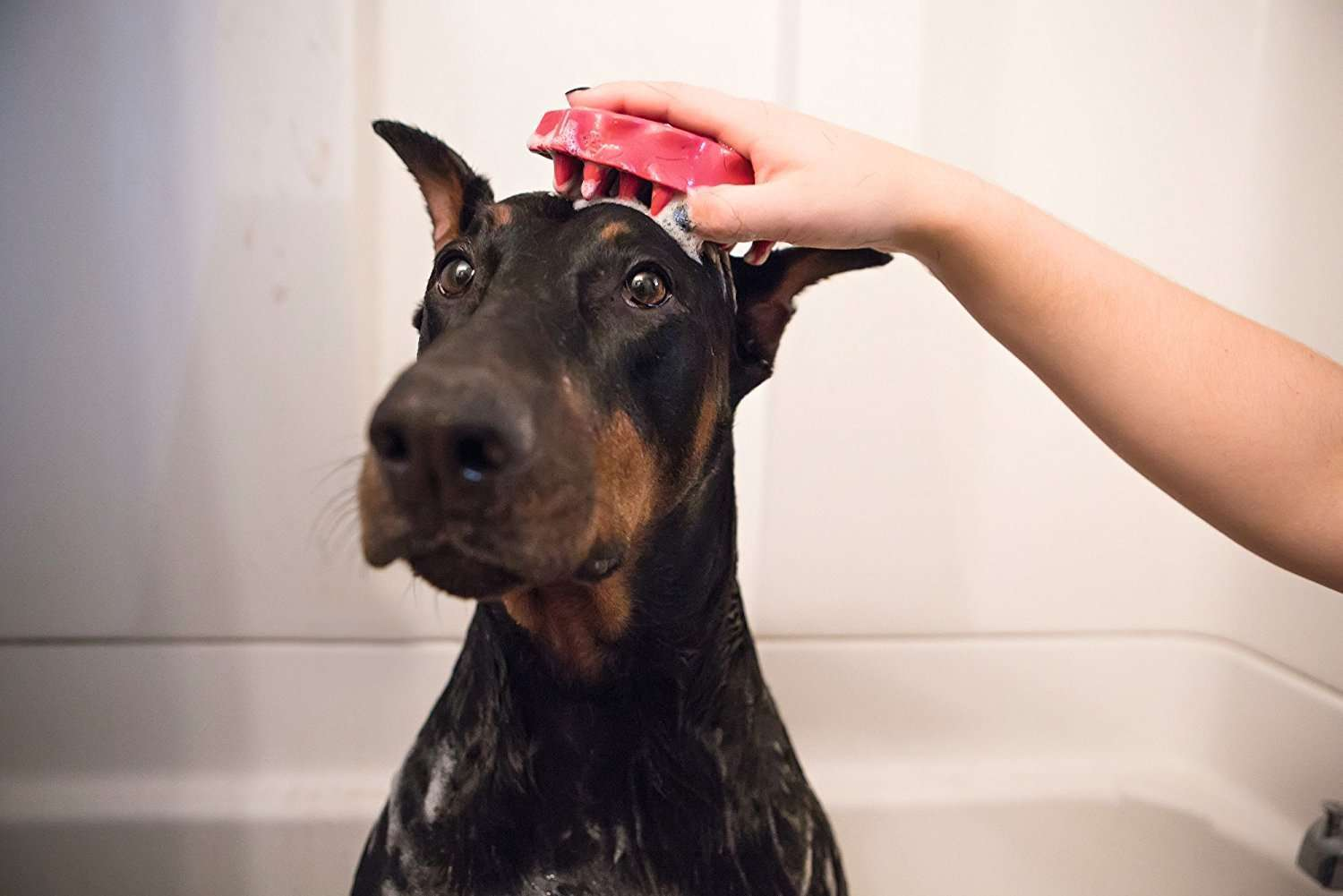 How to Bathe a Great Dane