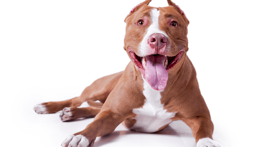 How to cut the nails of a pit bull terrier dog grooming tutorial how to cut the nails of a pit bull terrier voltagebd Choice Image