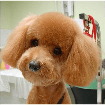 How To Give Your Dog A Teddy Bear Cut Dog Grooming Tutorial