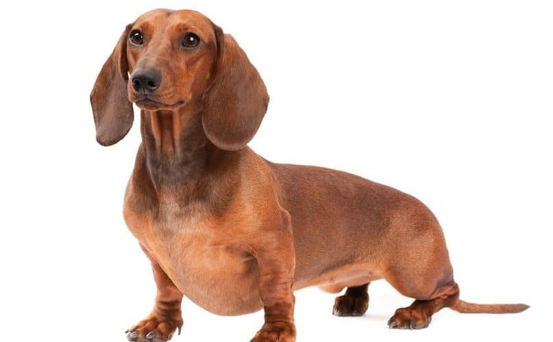 How To Groom Smooth And Wirehaired Dachshunds