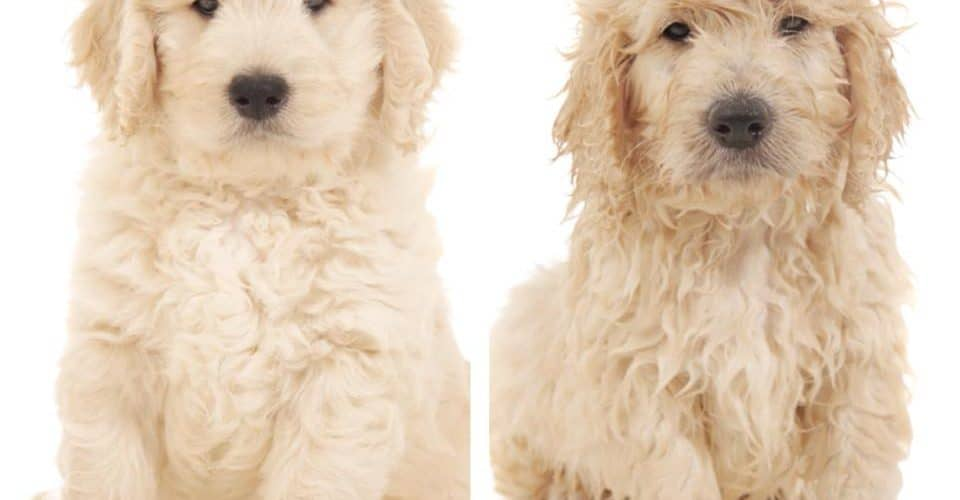 Preparing Your Goldendoodle For Professional Grooming Dog