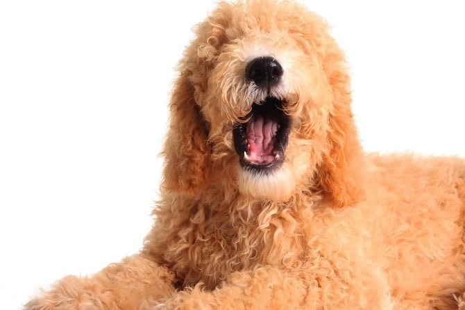 How To Deal With Ear Infection In Goldendoodles Dog